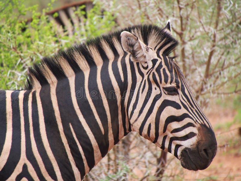 Burchell-` s Zebra lizenzfreie stockfotos