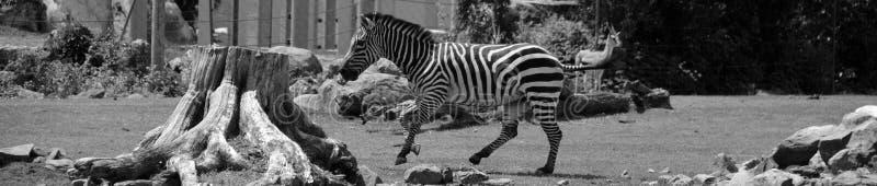 Burchell-` s Zebra lizenzfreie stockfotografie