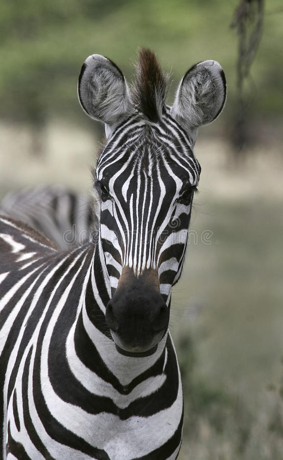 Download Burchell's Zebra (Equus Burchelli) Stock Image - Image: 11157155