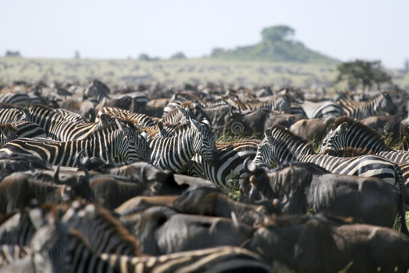 Download Burchell's Zebra (Equus Burchelli) Stock Image - Image: 11157159