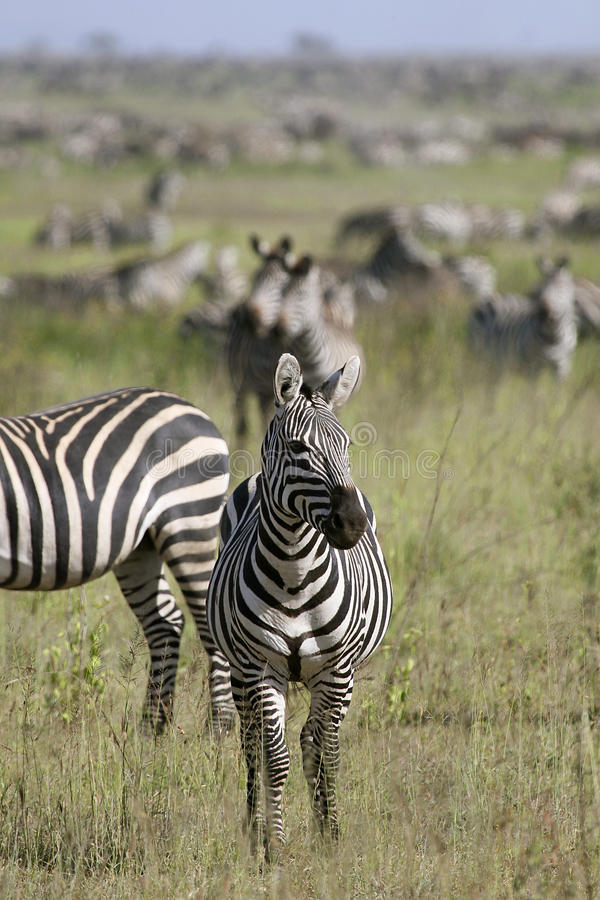 Download Burchell's Zebra (Equus Burchelli) Stock Image - Image of vacation, serengeti: 11157177