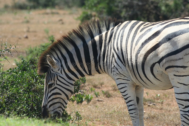 Download Burchell's Zebra (Equus Burchellii) Close-up Stock Photo - Image of animal, africa: 906230
