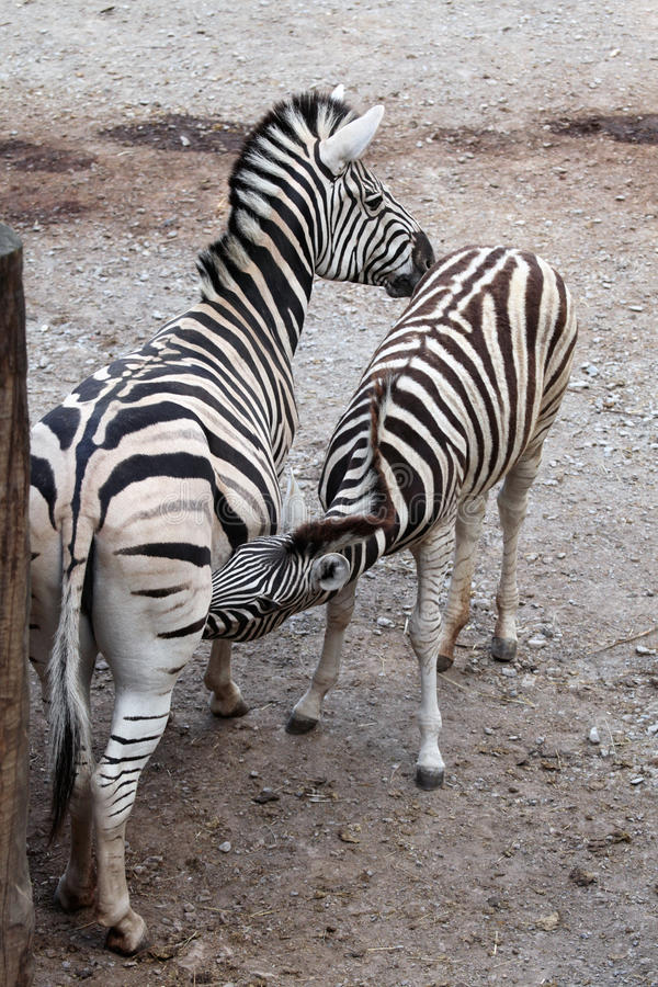 Burchell's zebra (Equus quagga burchellii) feeding its foal. Burchell's zebra (Equus quagga burchellii), also known as the Damara zebra feeding its foal. Wild stock image