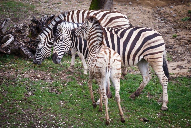 Burchell`s Zebra family group stock photo