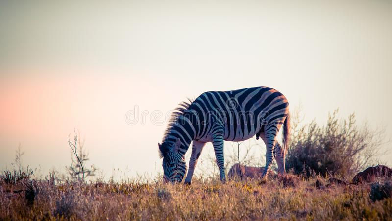 Burchell`s zebra feeding on a ridge in Africa. Male Burchell`s zebra feeding on a ridge isolated against the dawn light in the African wilderness image with copy