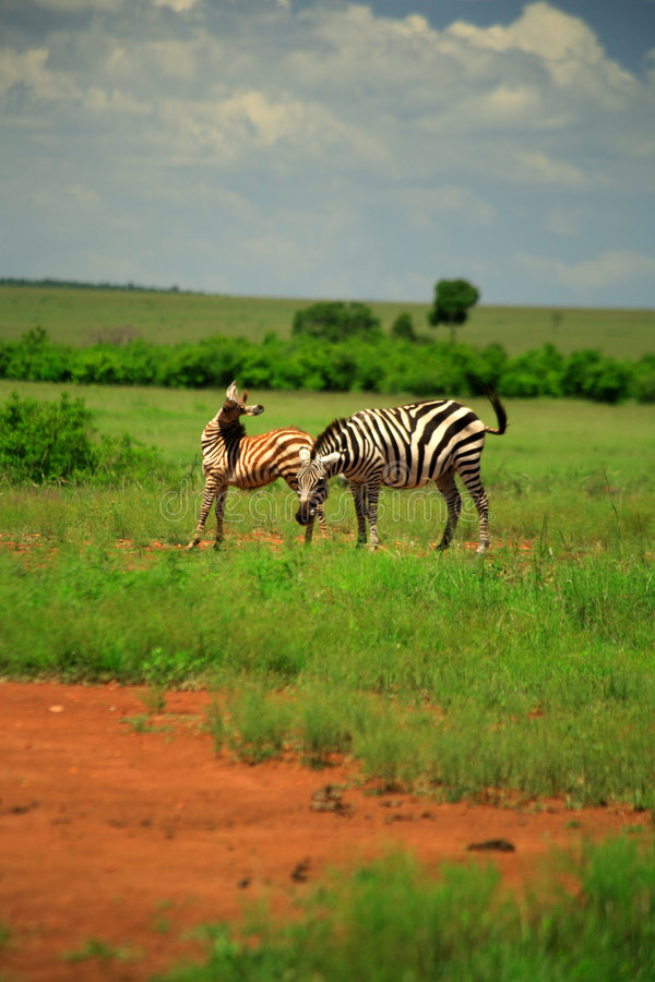 Burchell's Zebra and foal. Masai Mara, Kenya, Africa stock photo