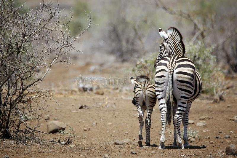 Burchell`s Zebra with Foal. Burchell`s Zebra Equus burchelli with Foal. Timbavati, Kruger Park, South Africa royalty free stock photo