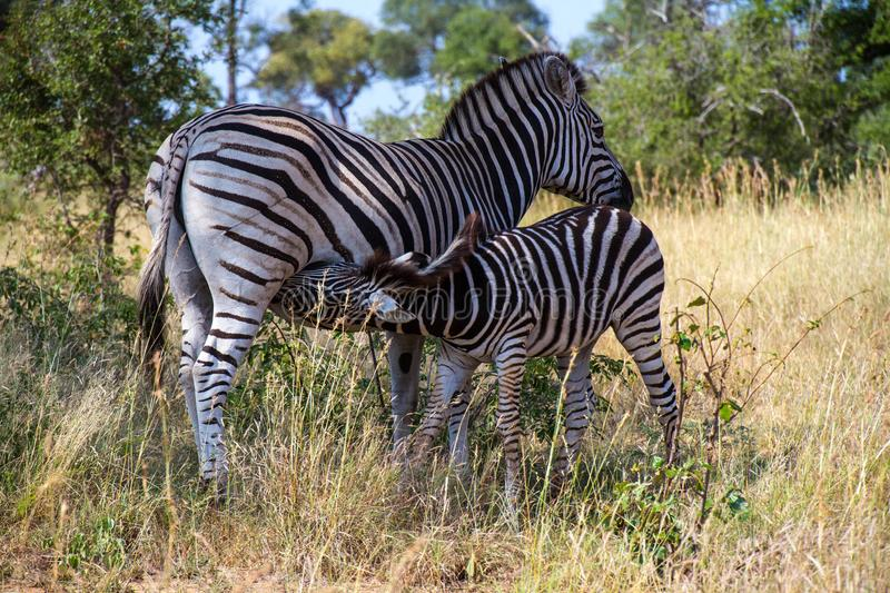 Zebra foal suckling from its mother stock photos