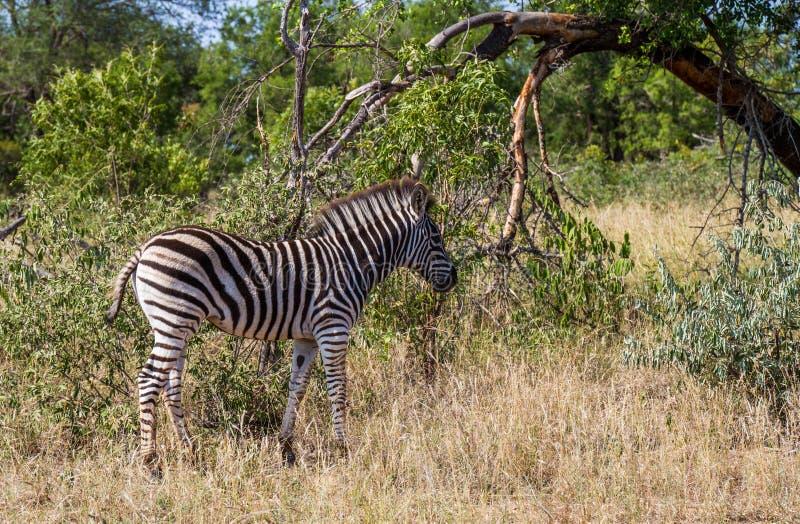 Burchell`s Zebra foal in the wild stock image