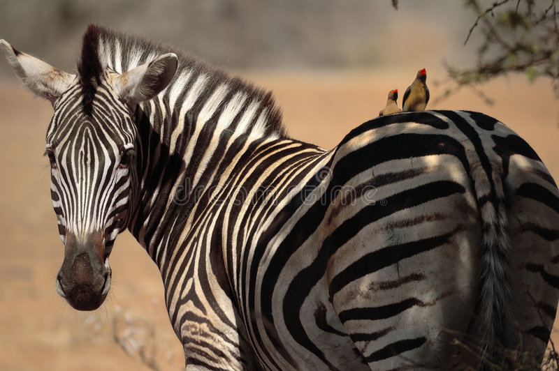 Burchell's Zebra with Friends. Burchell's Zebras with Red-Billed Oxpeckers (Buphagus erythrorhynchus) on its back (South Africa royalty free stock images