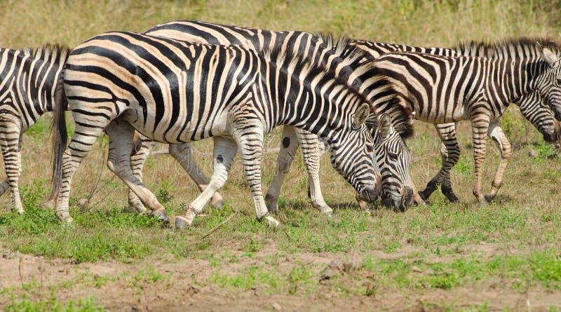 Burchells Zebra, Kruger National Park, South Afric. Burchells Zebra grazing, Kruger National Park, South Africa royalty free stock photography