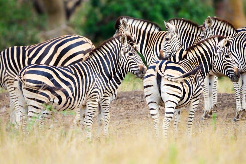 Burchell ` s zebra, Kruger park narodowy, Południowa Afryka zdjęcia royalty free