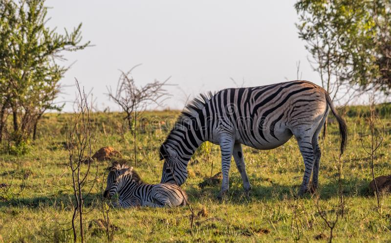 Burchell`s zebra mare and foal in the African bush stock photo