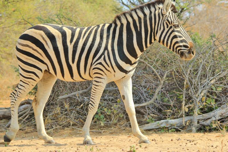 Zebra Stripes - African Wildlife Background - Iconic Black and White. A Burchell`s Zebra mare walks through natural vegetation, as seen in the wilds of Namibia stock photo