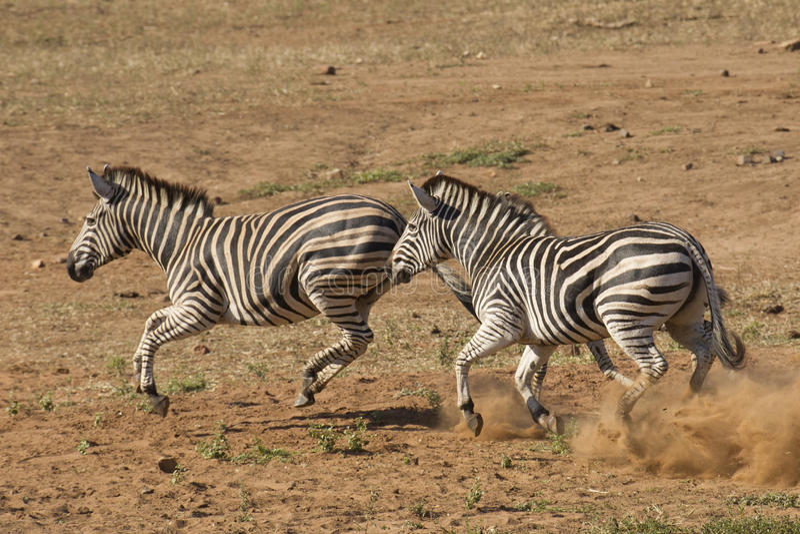 Burchell's Zebra running, South Africa royalty free stock photo