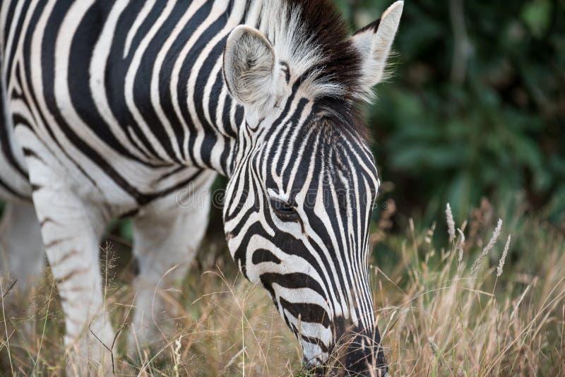 Burchell ` s zebra w Kruger parku narodowym obraz stock