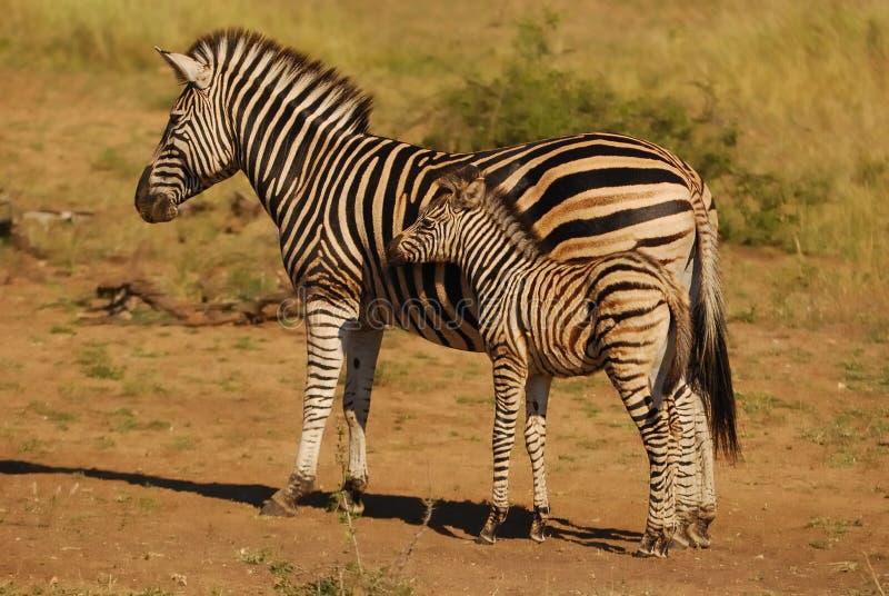 Download Burchell's Zebras (Equus Burchellii) Stock Photo - Image: 20163608
