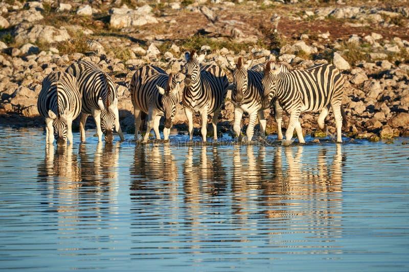 Burchell-` s Zebras Equus Quagga burchellii Getränk an einem waterhole stockfoto