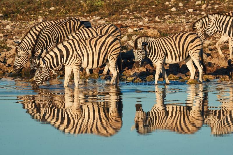 Burchell-` s Zebras Equus Quagga burchellii Getränk an einem waterhole lizenzfreie stockbilder