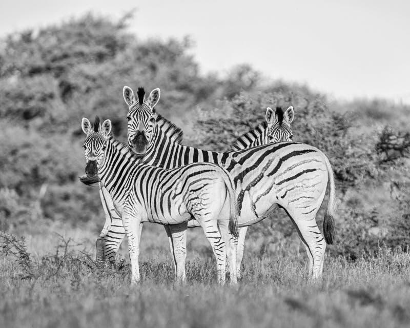 Burchell ` s zebry rodziny grupa zdjęcie royalty free