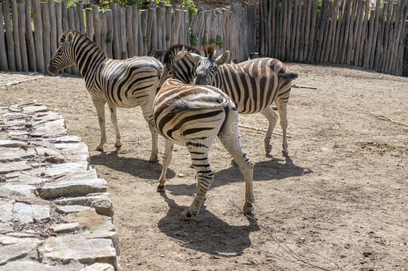 Burchell sebror som spelar, grupp av djur arkivbild