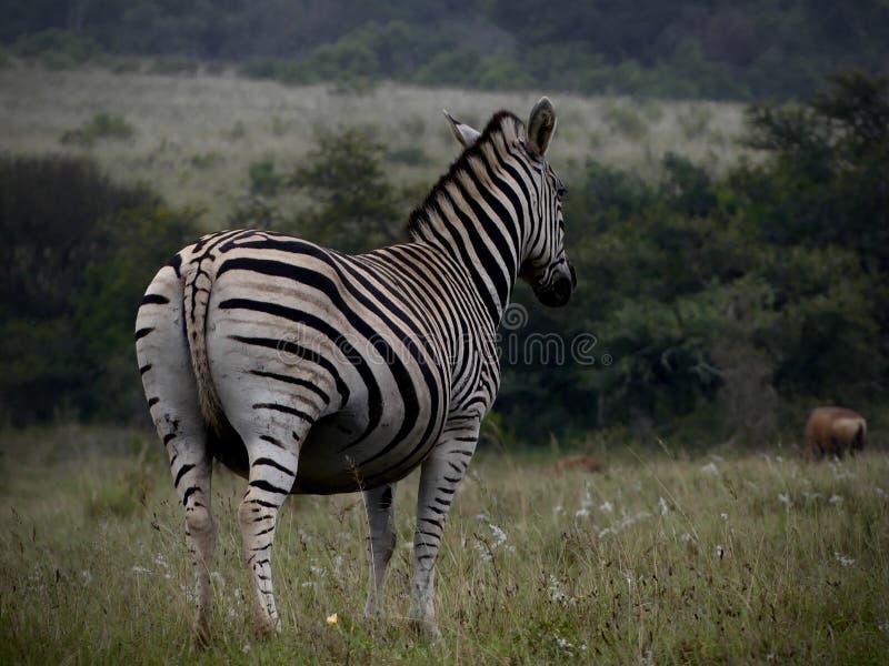 Burchell Zebra lizenzfreie stockbilder