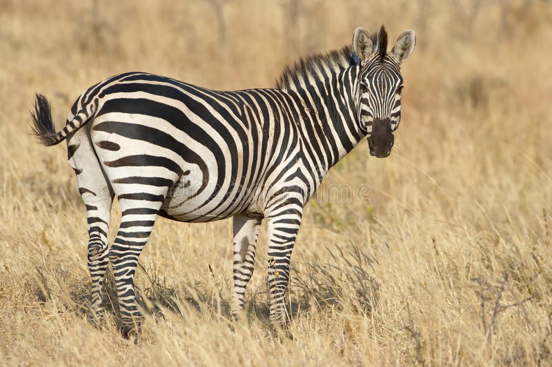 Burchell zebra obraz stock