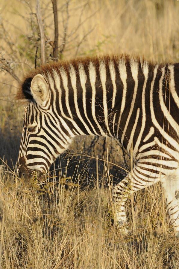burchell zebra s zdjęcia stock