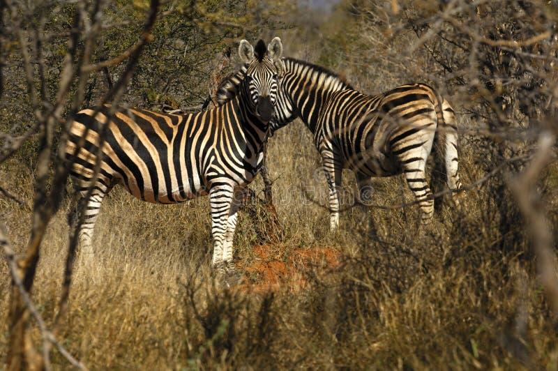 burchell zebra s fotografia royalty free