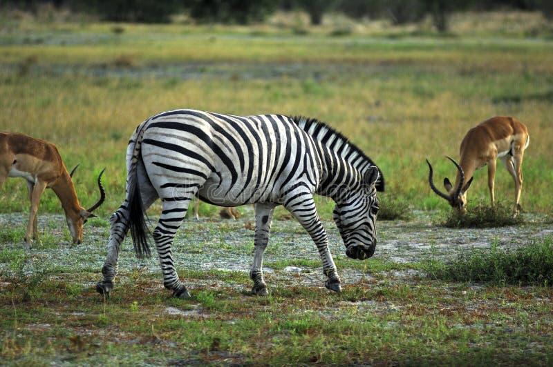 burchell zebra s zdjęcia royalty free
