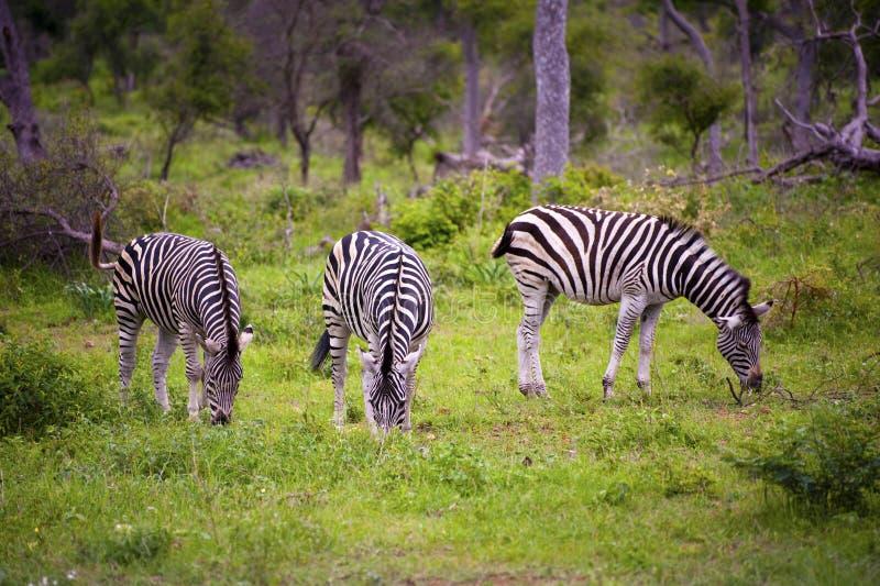 burchell zebra s zdjęcie royalty free