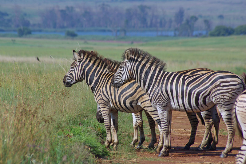 Download Burchell Zebras On African Grass Plains Stock Photo - Image: 7972672