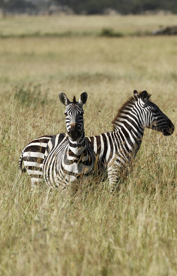 Download Burchell zebry s obraz stock. Obraz złożonej z rodzina - 24460733