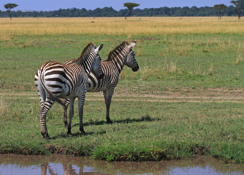 Burchell zebry stoi na otwartych równinach w masai Mara, Kenja obrazy stock