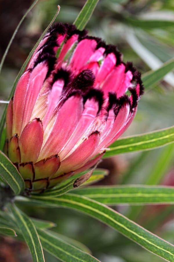 Burchellii Protea, λίγος σκαριφιστήρας στοκ εικόνες