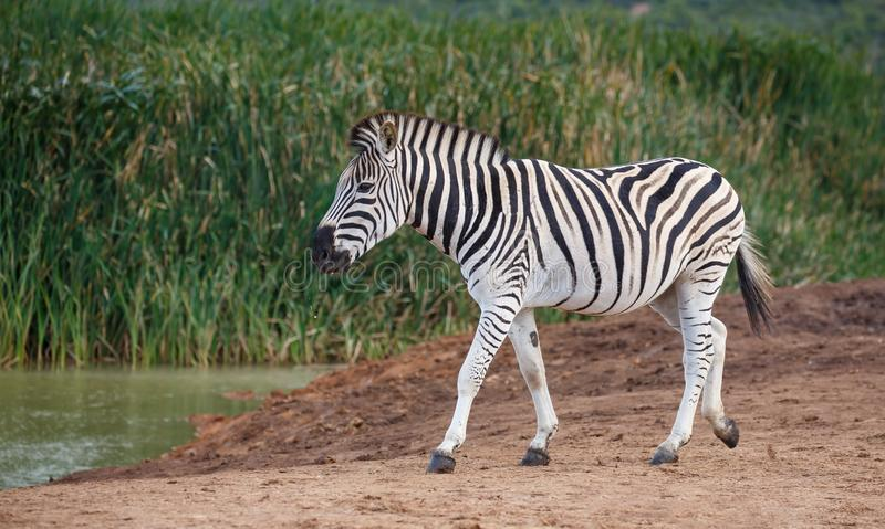 Burchells or Plains Zebra Drinking Water royalty free stock photography