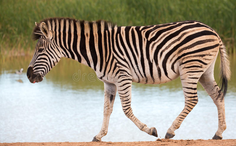 Burchells or Plains Zebra at a Waterhole royalty free stock images