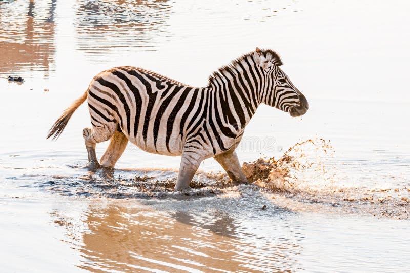 Burchells sebra, Equusquaggaburchellii som går i lerigt vatten royaltyfri foto