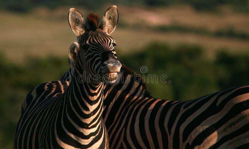 burchells ząb jego pokazywać uśmiechnięta zebra zdjęcia royalty free