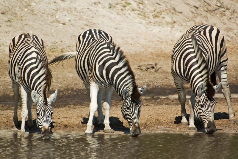 Burchells zebra. Three Burchells zebra (Equus burchelli) drinking water, Makgadikgadi Pans National Park, Boteti river, Botswana royalty free stock photo