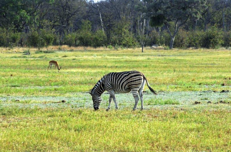 Burchells Zebra stockfoto