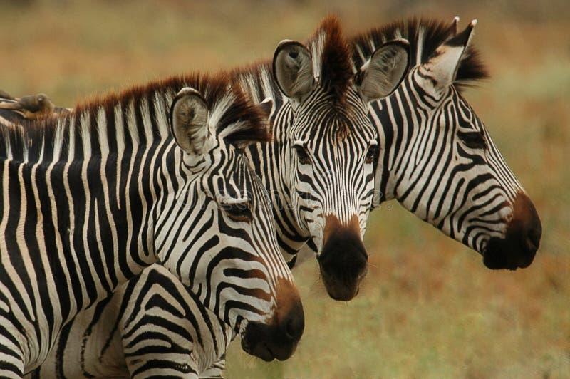 Burchells Zebra stock image