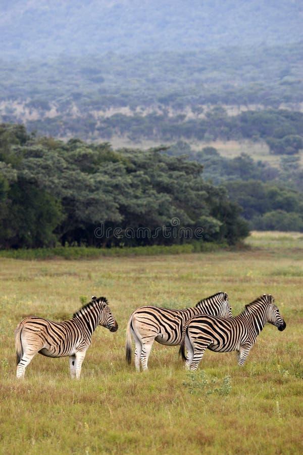 Download Burchells zebra stock image. Image of burchellii, group - 4824929
