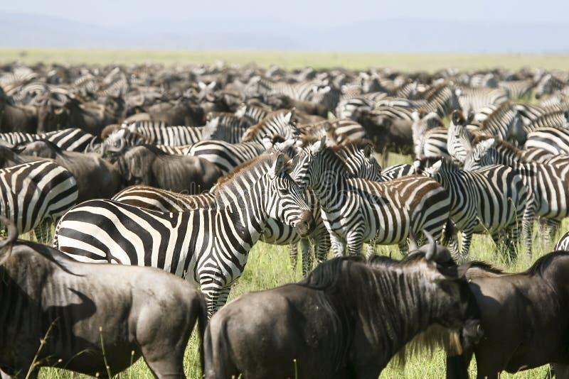 Burchells Zebra (Equus burchelli) stockbild