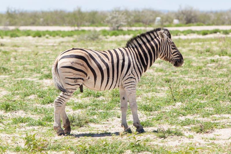 Size zebra penis Animal Penises