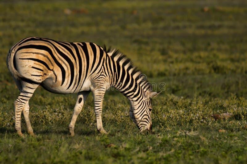 Burchells Zebra feeding on some grass. A nice image of a Burchells Zebra feeding on some grass stock photos