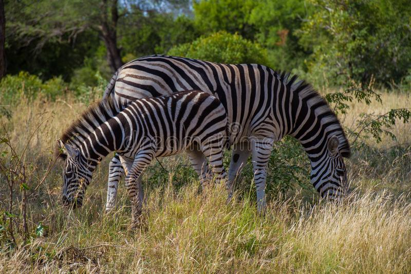 Burchells` Zebra and foal in the African bush royalty free stock photo