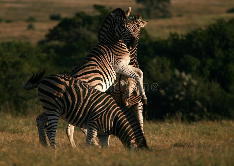 Download Burchells Zebra Jumping/fighting In South Africa. Royalty Free Stock Photos - Image: 25158478
