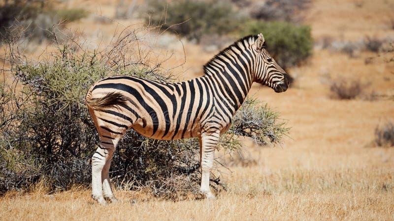 Burchells Zebra in Namibia, Mattart stockfotos