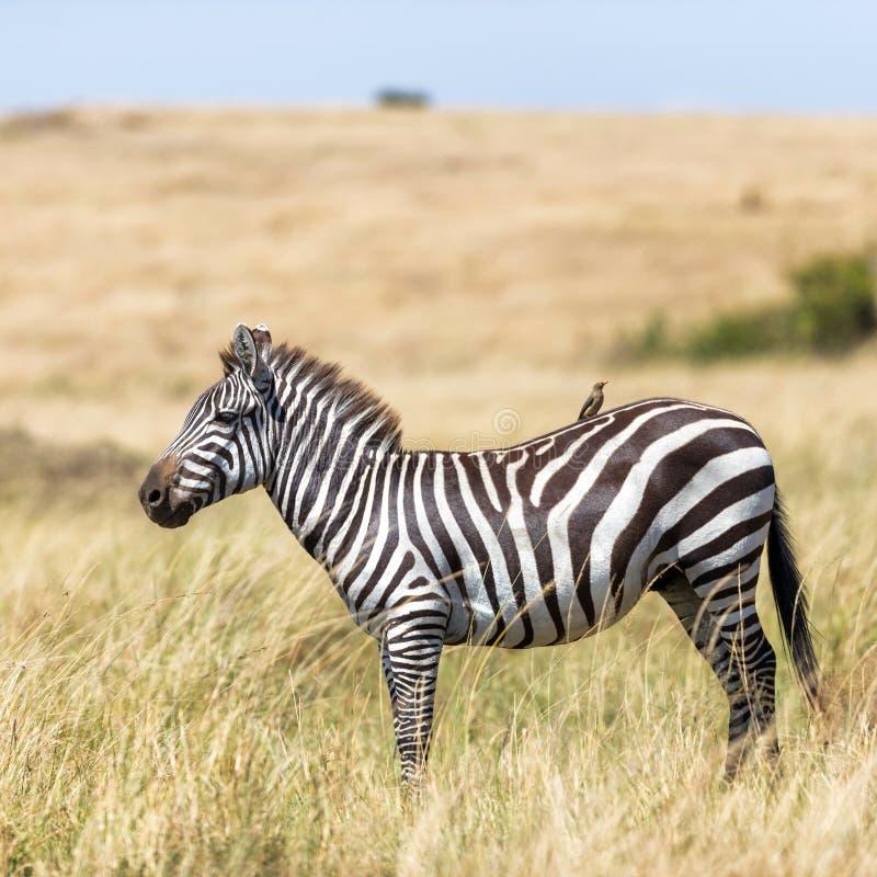 Burchells Zebra und Oxpecker im Grasland der Masai Mara stockbilder